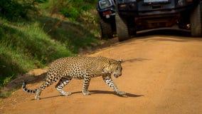 Леопард пересекая дорогу, автомобили остановленные в это время Стоковые Фотографии RF