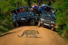 Леопард пересекая дорогу перед аудиторией Стоковое Изображение RF