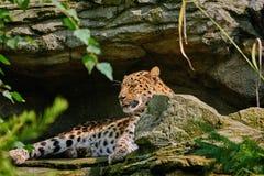 Леопард перед пещерой Стоковое фото RF