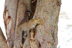 Леопард приходя вниз дерево стоковые фотографии rf