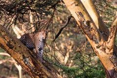 Леопард пряча на дереве Nakuru Стоковое Изображение