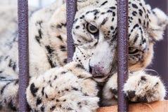 Леопард снежка в плене Стоковое Изображение RF