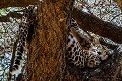Леопард спать Стоковое Изображение RF