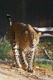 Леопард Цейлона Стоковое фото RF