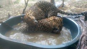 Леопарды имея ванну Стоковая Фотография RF