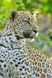 Леопард Южная Африка Стоковая Фотография RF