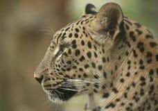 Леопард стоковые изображения