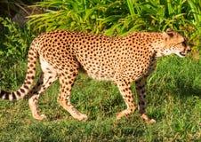 Леопард Стоковая Фотография