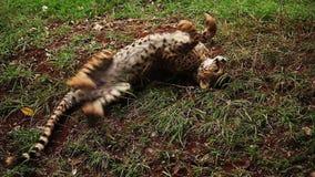 Леопард акции видеоматериалы