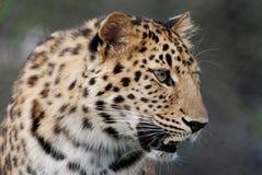 леопард amur Стоковые Фотографии RF