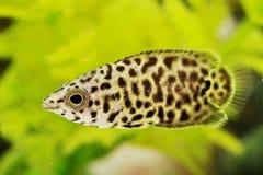 Леопард Ctenopoma стоковое фото rf