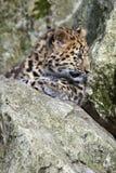 Леопард Cub Амура Стоковые Изображения