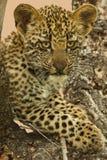 Леопард Cub Стоковая Фотография