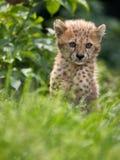 Леопард Cub Стоковые Изображения RF
