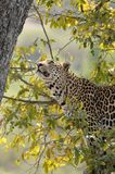 Леопард (pardus пантеры) в дереве Стоковое Изображение RF