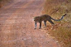 Леопард (pardus пантеры) пересекая дорогу Стоковая Фотография RF