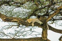 Леопард sleping на дереве Стоковое Изображение RF