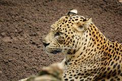 Леопард & x28; Tiger& x29; стоять над песком с открытыми глазами Стоковые Фотографии RF