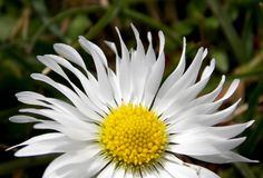 Лепестки белых цветков Стоковое Изображение RF
