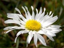Лепестки белых цветков Стоковое фото RF