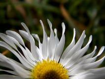 Лепестки белых цветков Стоковое Изображение