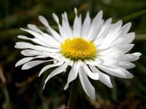 Лепестки белых цветков Стоковые Изображения RF