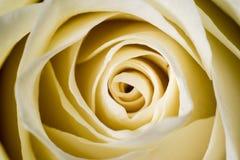 Лепестки белой розы Стоковое фото RF