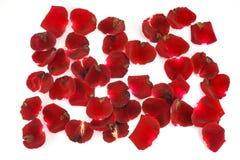 Лепестки красных роз на белой предпосылке Стоковые Фотографии RF