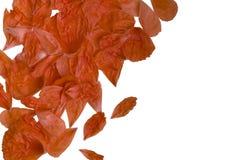 Лепестки мака Стоковая Фотография RF