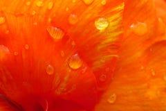 Лепестки оранжевого красного цвета Стоковая Фотография