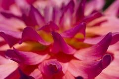 Лепестки орнаментального цветка георгина Стоковая Фотография