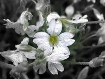 Лепестки падений цветка розовые Стоковое фото RF