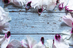 Лепестки пиона цветка свадьбы на голубой таблице сверху Плоское положение s Стоковое фото RF