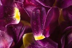 лепестки предпосылки пурпуровые Стоковая Фотография