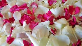 Лепестки розы белые и красные Стоковые Изображения