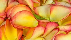 Лепестки розы в много цветов Стоковые Фото
