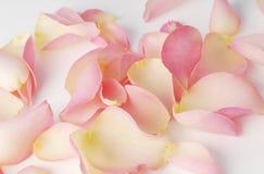 Лепестки розы изолированные на белой предпосылке Стоковая Фотография