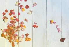 Лепестки розы на деревянной предпосылке Стоковые Изображения RF
