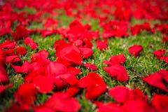 Лепестки розы на дороге стоковые фотографии rf