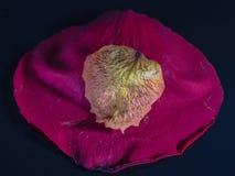 Лепестки роз Стоковые Изображения