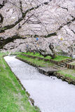 Лепестки Сакуры покрывая реку Shingashi, Kawagoe, Saitama, Японию весной Стоковое Изображение RF