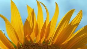 Лепестки солнцецвета закрывают вверх сток-видео