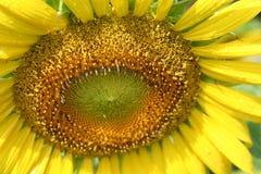 Лепестки солнцецвета с падениями воды Стоковое Изображение RF