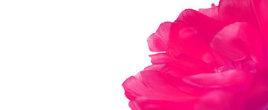 Лепестки тюльпана закрывают вверх Стоковое Изображение
