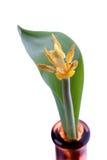 Лепестки тюльпана снаружи Стоковые Изображения