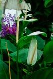 Лепестки цветка антуриума на одиночных лист стоковое изображение rf