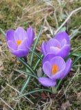 Лепестки цветка крокуса фиолетовые раскрывают Стоковая Фотография RF