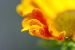 Лепестки Helenium Стоковые Фотографии RF
