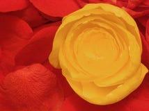Лепестки Rose Стоковое Изображение