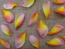 Лепестки rubra Plumeria Tricolor - пинк, желтый цвет и белизна Стоковое Изображение RF